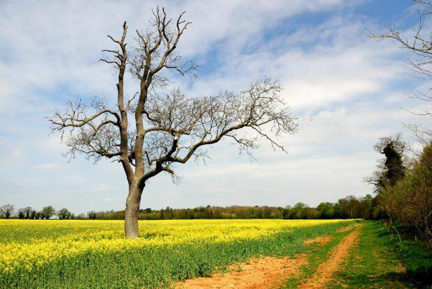 Tree in a field of yellow oil seed rape
